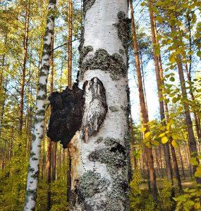 Chaga paddenstoel groeit aan de berkenboom